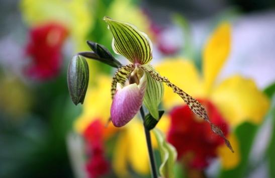 Orchidee_2550