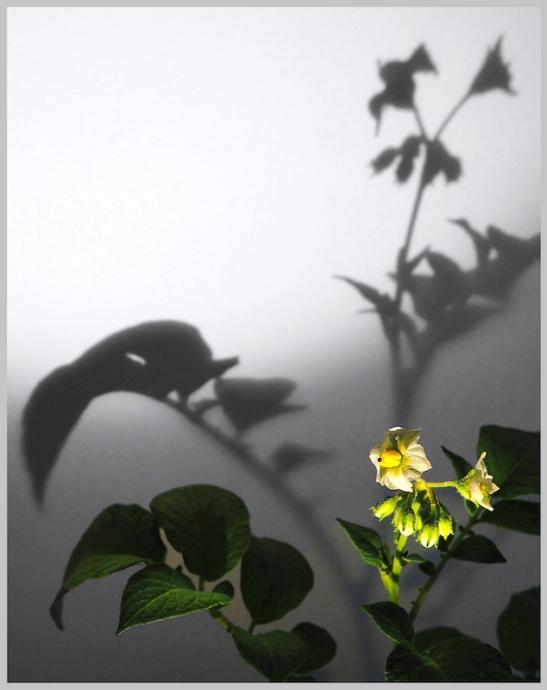 Bicego 006 - 3 Patate.jpg