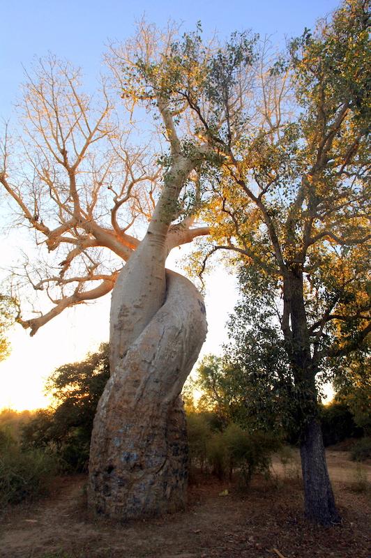Tomiello baobab_4764.JPG