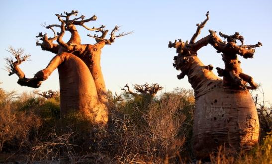 Tomiello Baobab_5895