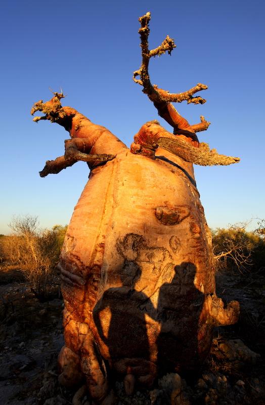 Tomiello Baobab_5898